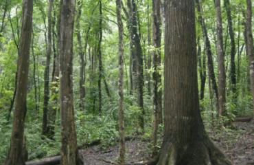 Mahogany Timber From Jessore | Wood World